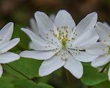 Flowers - Rue anemone