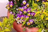 flower-pansy-purple-posies-mike-savad
