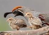 Male Gumbel's Quail & chicks