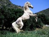 Horse-white-horse-animal