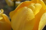 tulipe jaune / yellow tulip