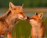 Foxes-fox-25854529-1280-1024