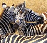 Zebras ~ Tanzania