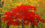 ^ Red leafed beauty