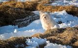 Little Snow Dog