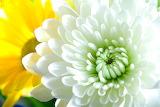 Crisantem - Chrysanthemum