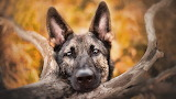 German-shepherd-macro-bokeh
