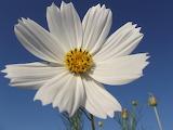 Flower cosmos spring nature