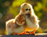 Two Baby Chicks...