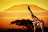 Girafa - Giraffe