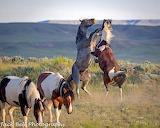 Mustangs at McCullough Peaks wild horse range Wyoming