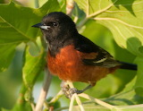 orchard oriole bird
