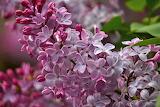 Lilac Flowers Clearlake California USA