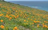 Coastal wildflowers poppies hillside point buchon