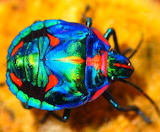 Rainbow Coloured Beetle