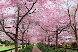 Cherry Blosson, Waikato New Zealand