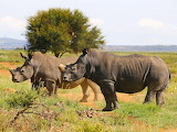 Endangered Species - Black Rhino
