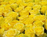 Yellow Roses, Melbourne Flower Show