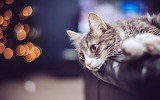 Cat-pet-bokeh-leather-sofa