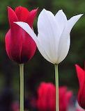Tulipanes3