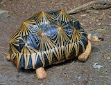 "Science tumblr myfrogcroaked ""Radiated Tortoise"""