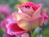 Pink-rose1