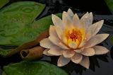 Sacred lotus with rain drops