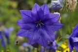 Blue blue flower blue
