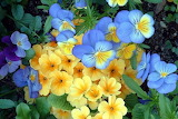 ^ Yellow Cowslips and Blue Pansies