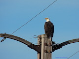 Bald Eagle waiting for her lunch to arrive