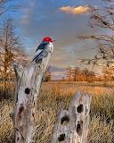 woodpecker on a stump