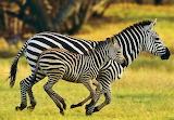 #Zebras in High Definition