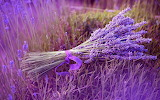 Awesome lavender
