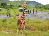Rescued Reticulated Giraffe ~ Masai Mara
