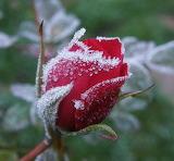 bouton de rose givré..