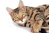 Cat-MyTiger