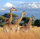 Giraffes in Kenya, Africa...