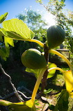 A fig in summer