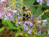 Bumble bee on Catnip