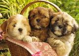 #Basket of Cute Puppies