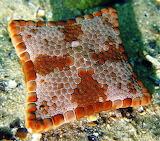 Square biscuit-starfish
