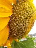 Girasol- Sunflower
