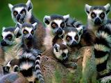 LemurTroop MadagascarAfrica