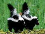 Two Baby Skunks...
