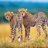 Wild Cheetahs in Africa...