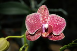 Orchidée d'hiver