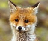 Fox Cub...