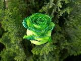 Rosa Verda - Green Rose