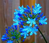 Agapanthus Bouquet