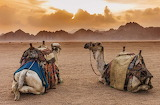 Animals - camels - Sinai Desert